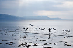 海鸥的舞蹈 库存图片