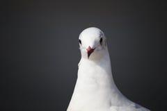 海鸥的面孔 免版税库存图片
