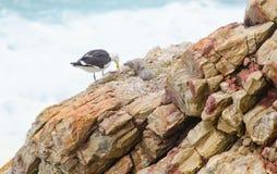 海鸥的饲养时间 免版税库存照片