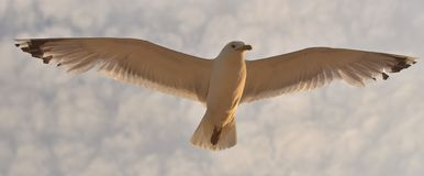 海鸥盘旋在海 库存图片