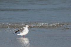 海鸥着陆在水中 库存照片