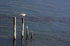 海鸥着陆 免版税库存图片