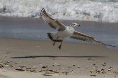 海鸥着陆 库存图片