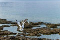 海鸥着陆 免版税库存照片