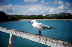 海鸥纵向 站立在码头栏杆的鸟  库存照片