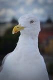 海鸥纵向 库存照片