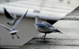 海鸥群在壁架和飞行的 库存照片