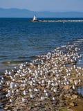 海鸥群在尚普兰湖岸的在佛蒙特 免版税库存图片