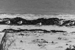 海鸥群在海滩的 库存图片
