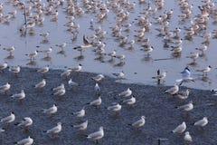 海鸥群在海滩的在平静的光下 免版税图库摄影