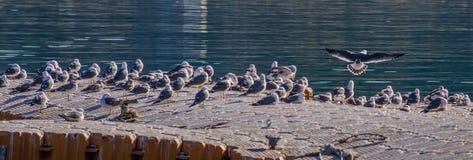海鸥群在码头的 免版税图库摄影