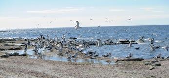 海鸥群在索尔顿湖加利福尼亚的 库存照片