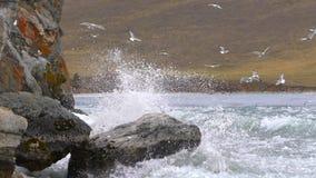 海鸥群飞行在湖 贝加尔湖湖俄国 慢的行动 股票视频