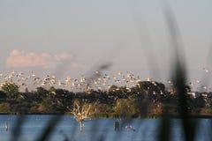 海鸥群,日落的在群,Lerida回家, 库存照片