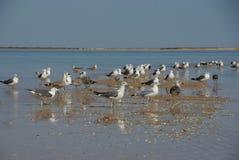 海鸥群  图库摄影