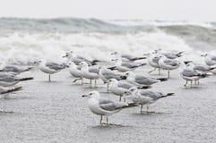 海鸥群  免版税库存图片