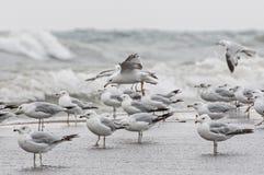 海鸥群  库存图片