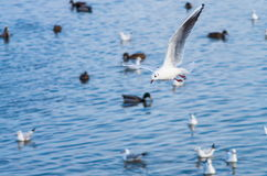 海鸥腾飞 库存照片