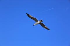 海鸥蓝色skye 库存照片