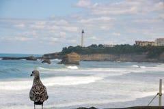 海鸥观看在la重创的色球的,伟大的海滩比亚利兹 免版税图库摄影