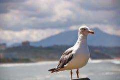 海鸥观看在la重创的色球的,伟大的海滩比亚利兹 免版税库存照片