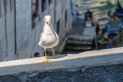 海鸥身分,姿势和看对照相机在brige篱芭在渠道挥动与长平底船在后面 免版税图库摄影