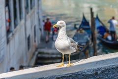 海鸥身分,姿势和看对照相机在brige篱芭在渠道挥动与长平底船在后面 免版税库存图片