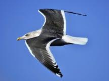 海鸥通过蓝天飞行 免版税图库摄影