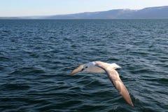 海鸥飞行。 免版税库存图片