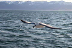 海鸥飞行。 库存照片