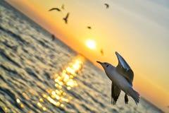海鸥飞行到它的日落里 免版税库存图片