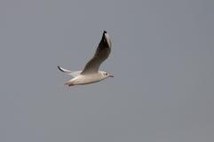 海鸥飞行和灰色天空 免版税库存图片