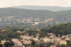 海鸥飞行在反对Oropos村庄的天空中在希腊 免版税图库摄影