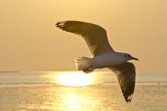 海鸥飞行在晚上 免版税库存照片