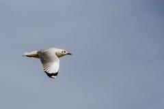 海鸥飞行外形 库存图片