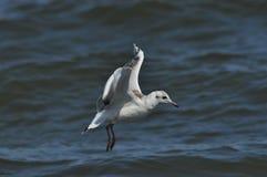 海鸥飞行,搜寻在波浪的食物 在海运somethere塔林附近的波儿地克的爱沙尼亚 免版税库存照片