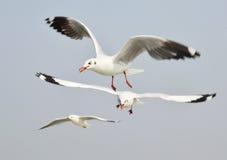 海鸥飞行 库存照片