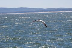 海鸥飞行acroos住处镇的,埃斯特角海 库存照片