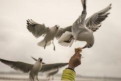 海鸥饲养时间3 免版税库存图片