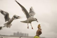 海鸥饲养时间4 免版税图库摄影