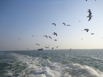 海鸥鸟在stmartin的飞行天空 图库摄影