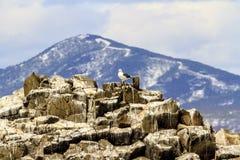 海鸥鸥属,堪察加半岛殖民地,在海角Kekurny附近,俄罗斯 免版税库存照片