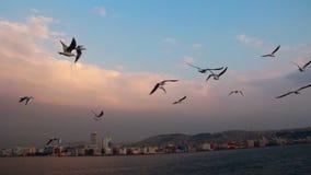 海鸥,土耳其6月2016年, 影视素材