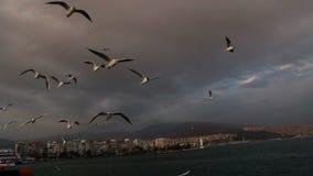 海鸥,土耳其6月2016年, 股票视频