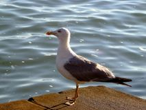 海鸥,在海鸥的特写镜头 免版税图库摄影