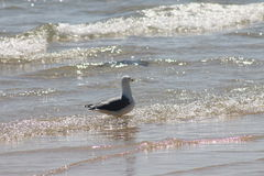 海鸥,海岛Tavira葡萄牙 免版税库存照片