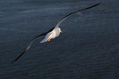 海鸥,年2011年 免版税图库摄影