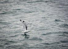 海鸥:黑有腿的三趾鸥(Rissa tridactyla) 库存图片