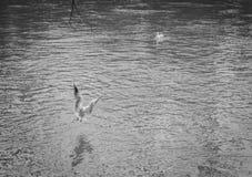 海鸥以各种各样的情况 图库摄影