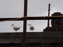 海鸥结合看 免版税图库摄影